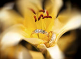 Wedding rings in the yellow flower — Stockfoto