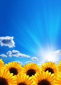 Sunflowers. Blue sky, clouds, sun and sunrays. — Stock Photo