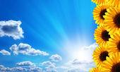 Sunflowers. Blue sky, clouds, sun and sunrays. — Stock Photo