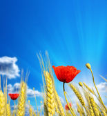 Wheat cones with red poppies against the beautiful sky — Stock Photo