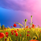 Wheat field with poppies before a storm. Unusual spring colors — Stock Photo