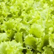 Lettuce seedlings in a field — Stock Photo