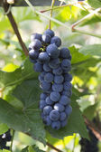 Purple red grapes — Stock Photo