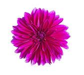 Dahlia flower — Stock Photo