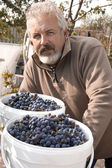 Male farmer with a crop of grapes — Stock Photo