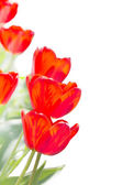 白い背景の上の美しい赤いチューリップ — ストック写真