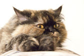 Furry cat is resting on the couch — Stock Photo