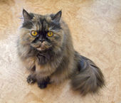 Persian cat tortoiseshell — Stock Photo