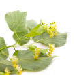 Linden branch with flowers — Stock Photo