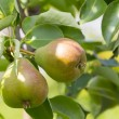 Pears ripen on the tree — Stock Photo