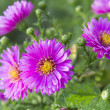 Perennial aster — Stock Photo