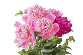 Pink peony on white background — Stock Photo