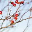 Rosehip branches against the sky — Stock Photo