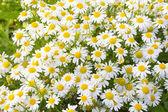 Background of chamomile flowers — Stok fotoğraf