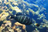 Beautiful black tropical fish — Stock Photo