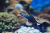 Beautiful blue tropical fish — Stock Photo