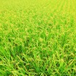 Stock Photo: Rice ( paddy ) growing in the field