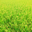 Rice ( paddy ) growing in the field — Stock Photo #27061567