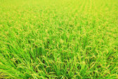 Rice ( paddy ) growing in the field — Stock Photo