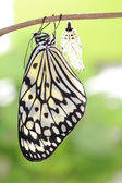 Butterfly change form chrysalis — Stock Photo