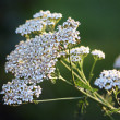 Wildflower - Yarrow (Achillea millefolium) — Stock Photo