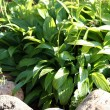 "Stock Photo: Hostas ""Minor"" also known as plantain lilies"