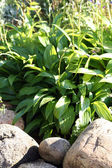 "Hostas ""Minor"" also known as plantain lilies — Stock Photo"