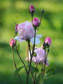 """Rose """"Pink Queen"""" in the garden — Stock Photo"""