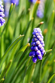 Grape hyacinth (Muscari) flowers — Foto de Stock