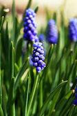 Grape hyacinth (Muscari) flowers — Stock Photo