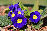 Garden primula cultivar — Stock Photo