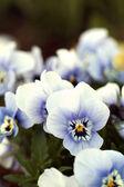 Viola tricolor in garden — Stock Photo