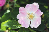 Pink Dog rose — Stock Photo