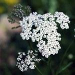 Wildflower - Yarrow (Achillea millefolium) — Stock Photo #50634025