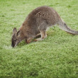 Stock Photo: Little wallaby on green glass is drinking rain water