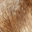 Stock Photo: Closeup horizontal photo of soft red fur