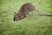 Little wallaby on green glass is drinking rain water — Stock Photo