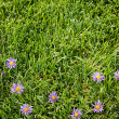 Purple flowers on a grassy background — Stock Photo