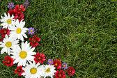 Rot, weiß und lila margeriten auf gras — Stockfoto