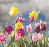 Tulips on a cloudy background — Stock Photo