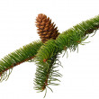 Branch fir with cone — Stock Photo