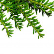 Branch yew ( Taxus cuspidata ) — Stock Photo