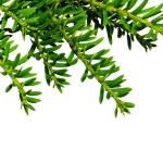 Branch yew ( Taxus cuspidata ) — Stock Photo