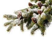 Branch fir with cones in snow — Stock Photo