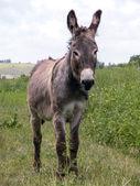 Young burro — Stock Photo