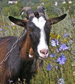 Nanny goat — Stock Photo