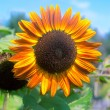 Orange sunflower — Stock Photo