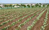 Cabbage1 — Stock Photo