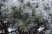 Icy branches needles10 — Stock Photo