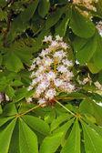Flowering chestnut2 — Stock Photo